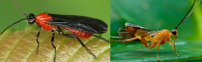 Boost The Braconid Wasp Population For Pest Control Mother Earth News Cabbage Worms Tomato Worms Organic Pest Control