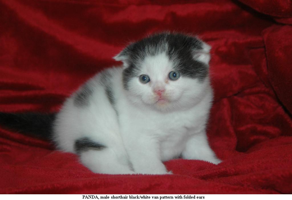 Stirling Bridge Cattery Kittens