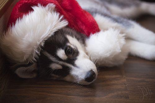Husky Christmas Puppy.Merry Christmas Baby Siberian Husky Puppy Holiday Dogs Santa