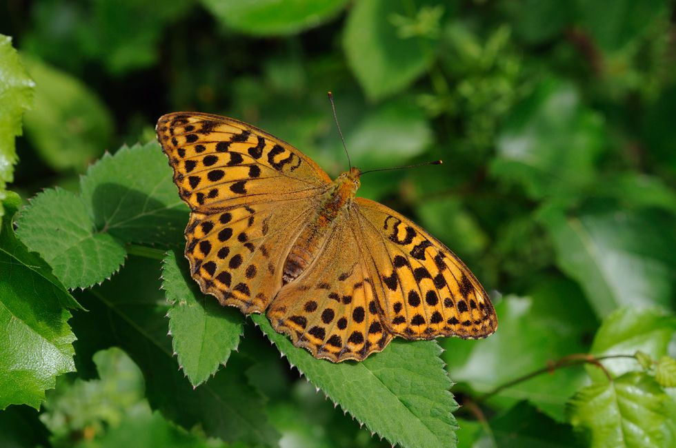 A female Silver-washed Fritillary basking (Snitterfield Bushes, Warwickshire).