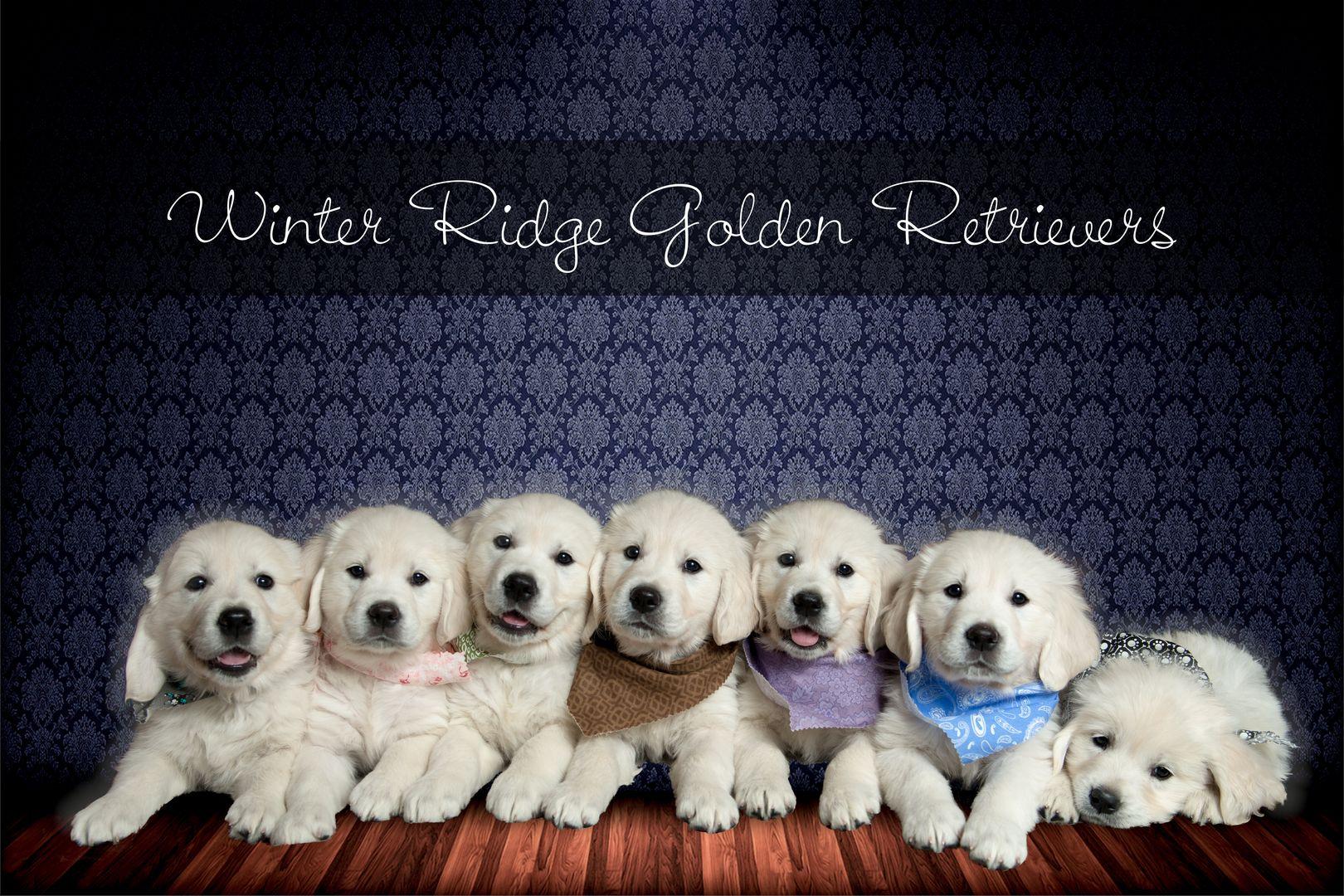 English Cream Golden Retriever Puppies Breeder Winter Ridge