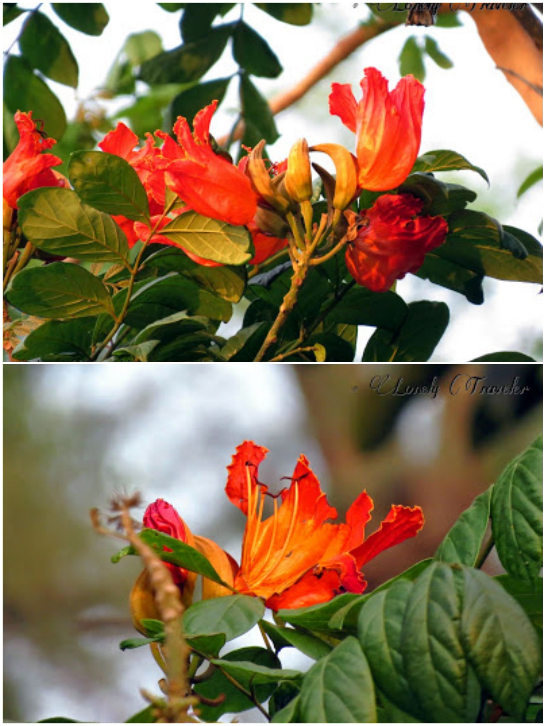 Rudra Palash (রুদ্র পলাশ) - African Tulip - Campanulata ... Palash Flowers Images