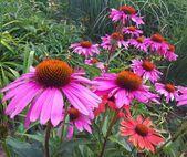 Echinacea purpurea | Sonnenhut # Sonnenhut #echinacea #purpurea#nailsaddict #nail2inspire #nailsofinstagram #nailpro #nails4today #styles #longhairstyles #locstyles #kidshairstyles #outfitsociety #outfitstyle #braidedhairstyles #crochethairstyles #garden_styles #gardenwedding