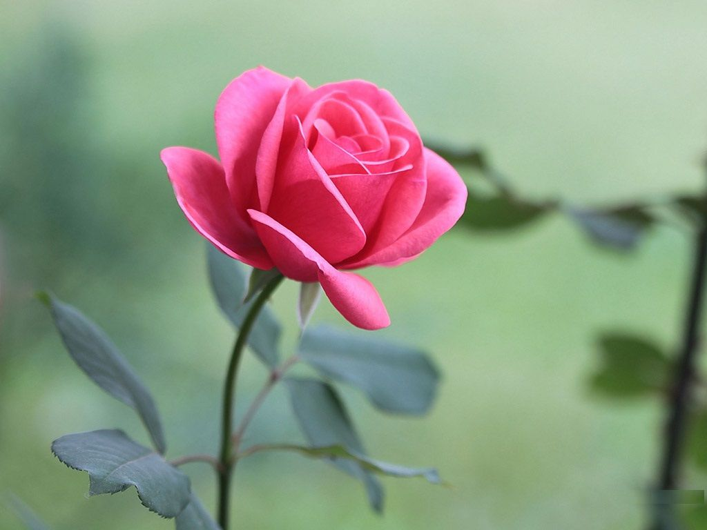 Beautiful pink flowers pictures hd free download flower - Pink rose hd wallpaper ...
