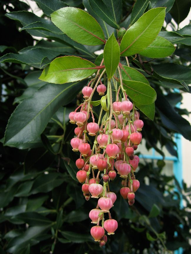 Arbutus Marina Trees To Plant Landscaping Trees Language Of Flowers