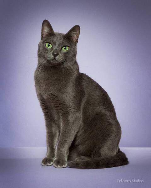 Grey Cats, Cute Cats, Chartreux Cat