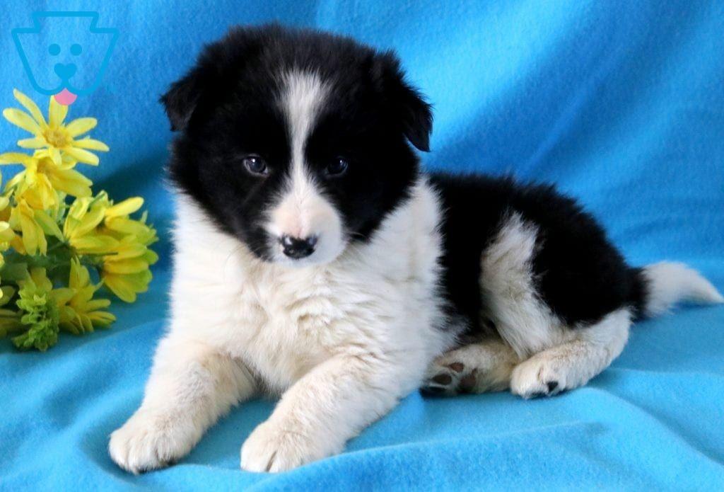 Ranger Border Collie Puppy For Sale Keystone Puppies Collie Puppies For Sale Cute Little Puppies Puppies