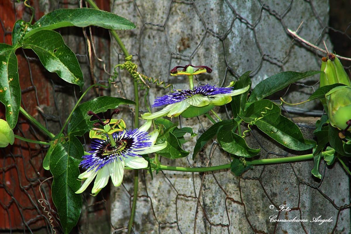 Passiflora es el género más importante de la familia Passifloraceae ...