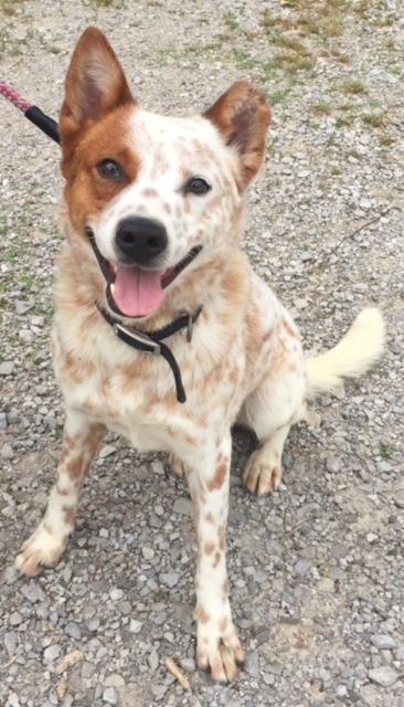 cattle dog rescue illinois