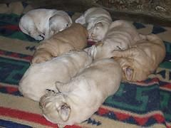 Dog Breeding Cycle Golden Retriever Puppies Sleeping Dog Breeds
