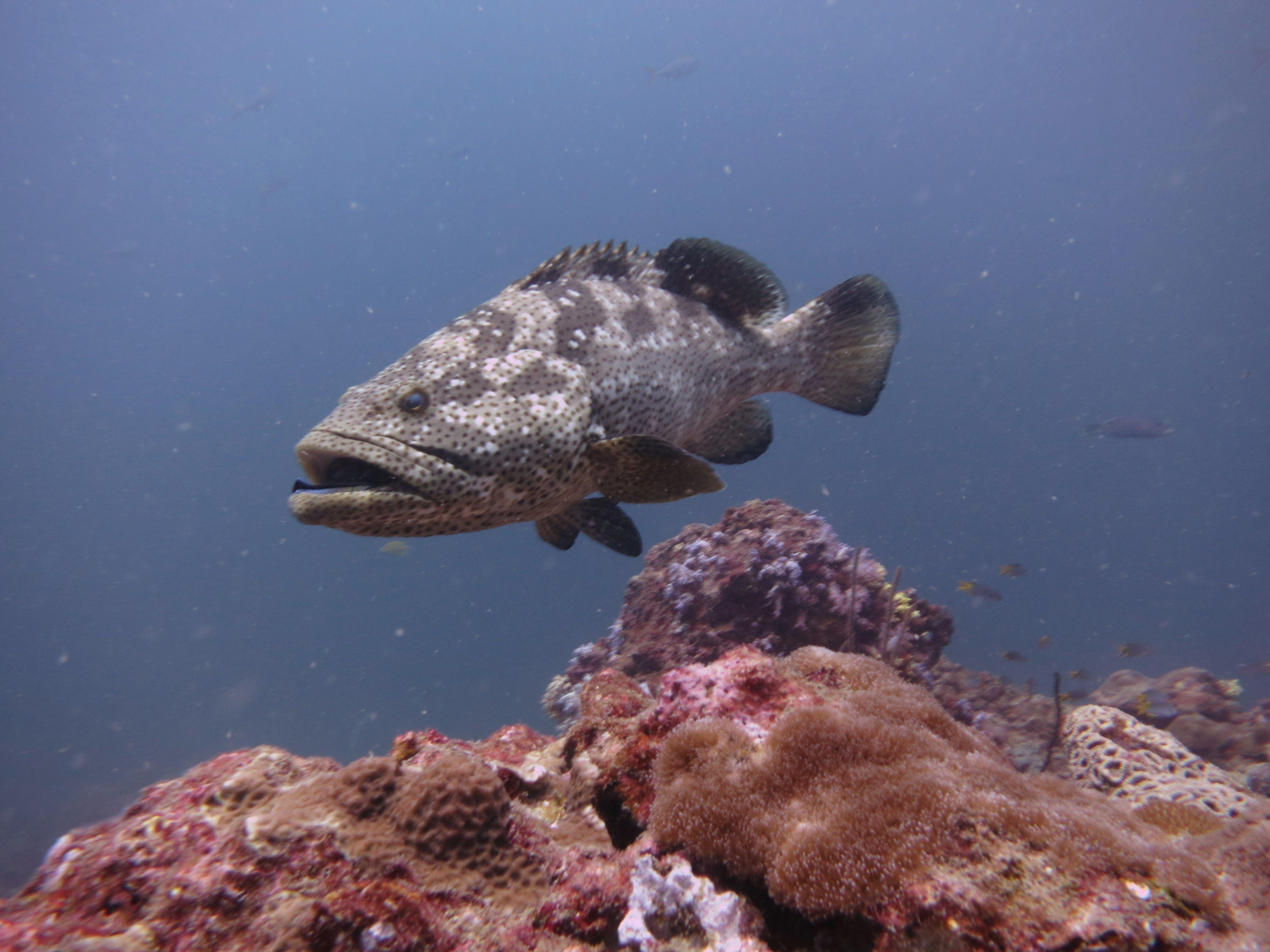 Brown Marbled Grouper Phi Phi Ley Scuba Diving Phuket Thailand Underwater World Florida Fish Fish Pet