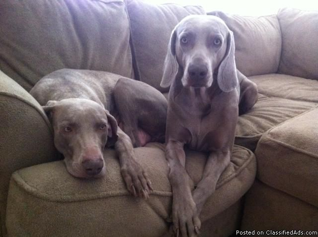 Akc Dogs Weimaraner Puppies Price 550 00 For In Las Vegas Nevada