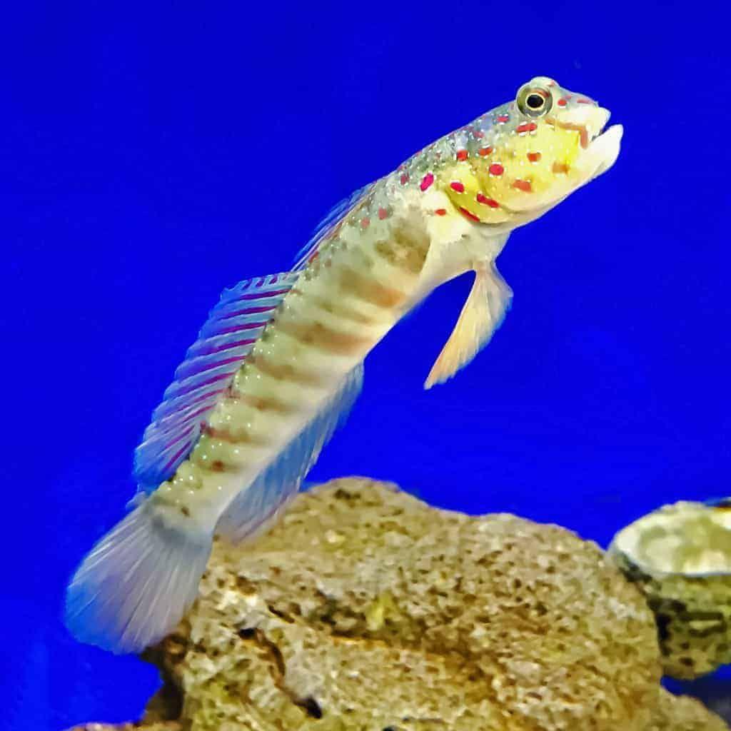 17 99 The Pink Spotted Watchman Goby Cryptocentrus Leptocephalus Has A Yellow To Tan Body With Pink Spots Surroun Fish Pet Saltwater Aquarium Reef Aquarium