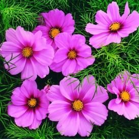 Cosmos Seeds On Sale Now By The Packet Or In Bulk In 2020 Cosmos Flowers Flower Seeds Cosmos