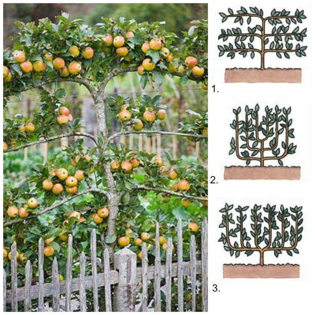 39 Ingenious Diagrams For Your Home And Garden Projects: Espalier Trees For Your Garden
