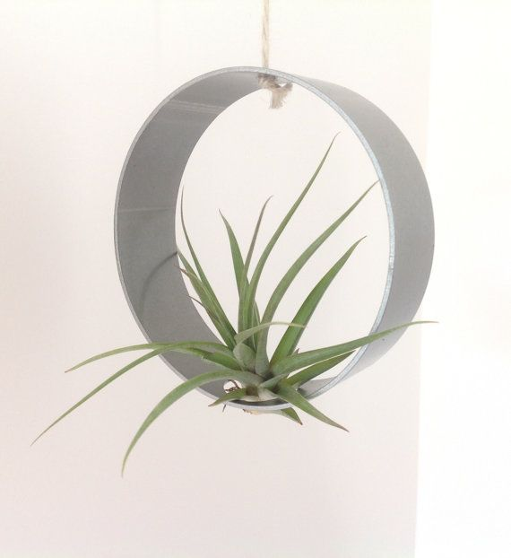 Air plant tillandsia air plant suspended in a stainless steel ring holder d co et - Plantes et jardins code promo ...