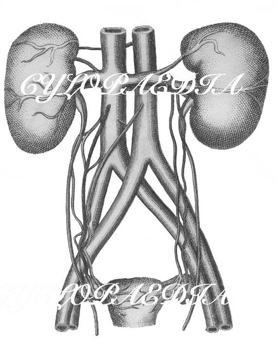 Human Kidneys Anatomy Antique Scientific Drawing Sketch