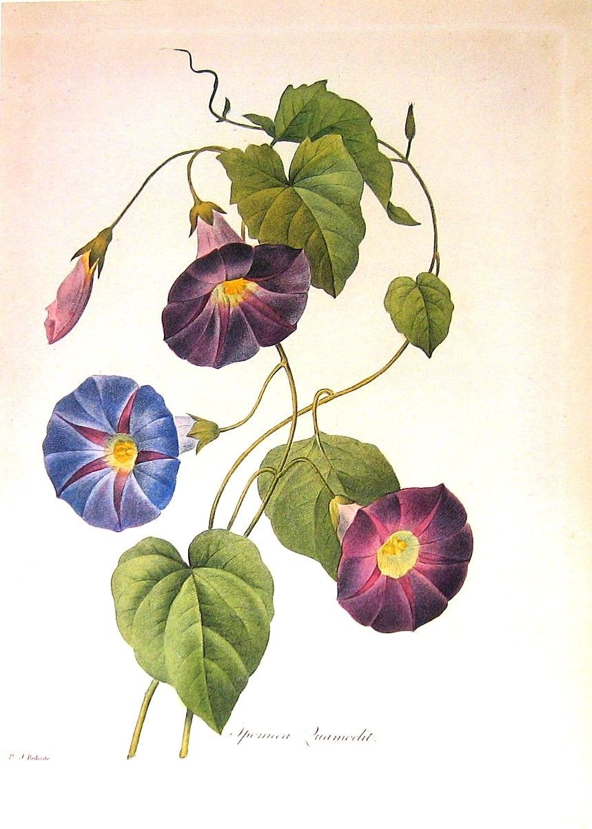 Morning Glory 1979 Vintage Flowers Book Plate Print p242 ... Morning Glory Botanical Drawing