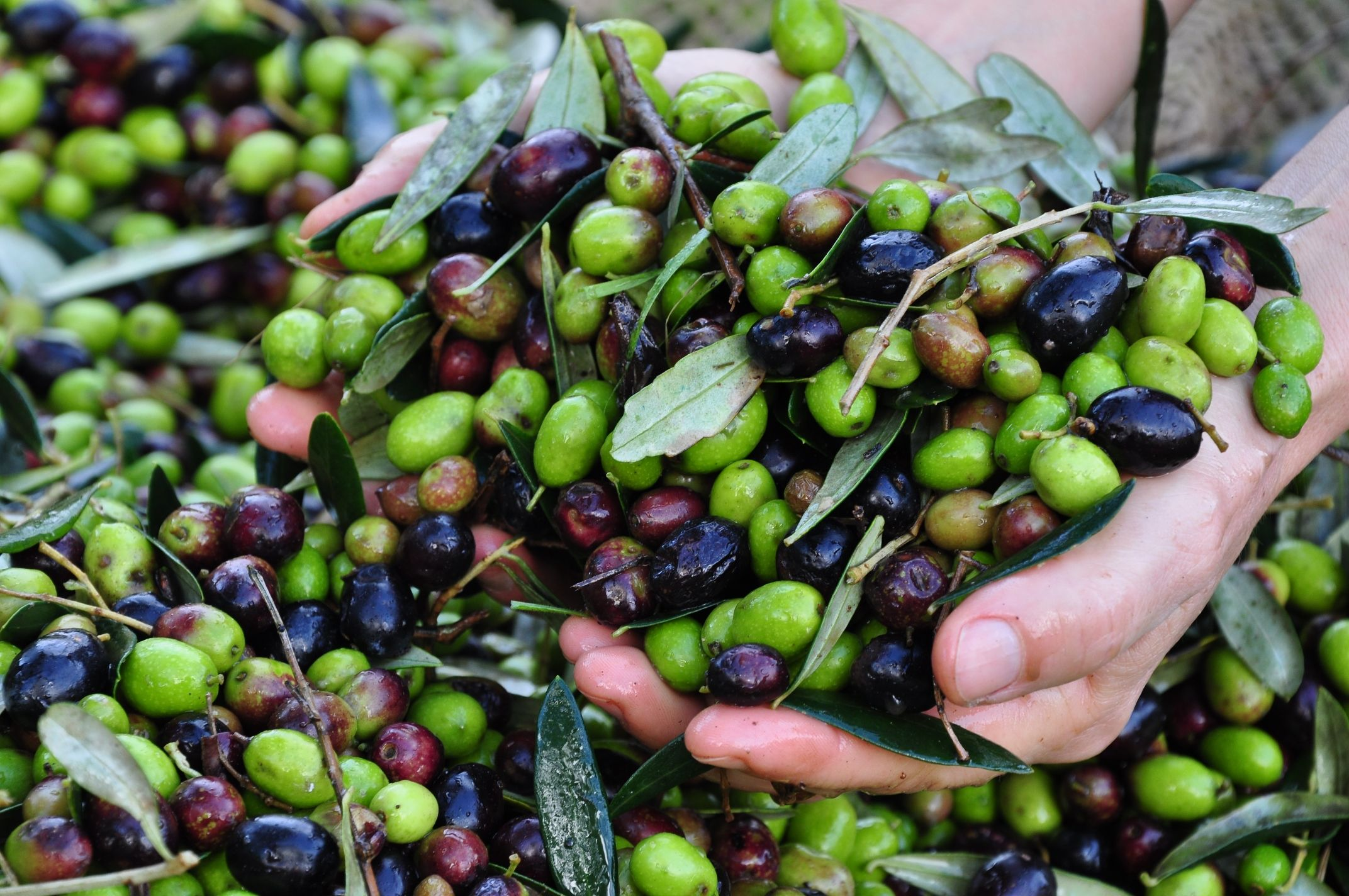 Olive extravergine, cultivar Moraiolo, Leccino e Frantoio