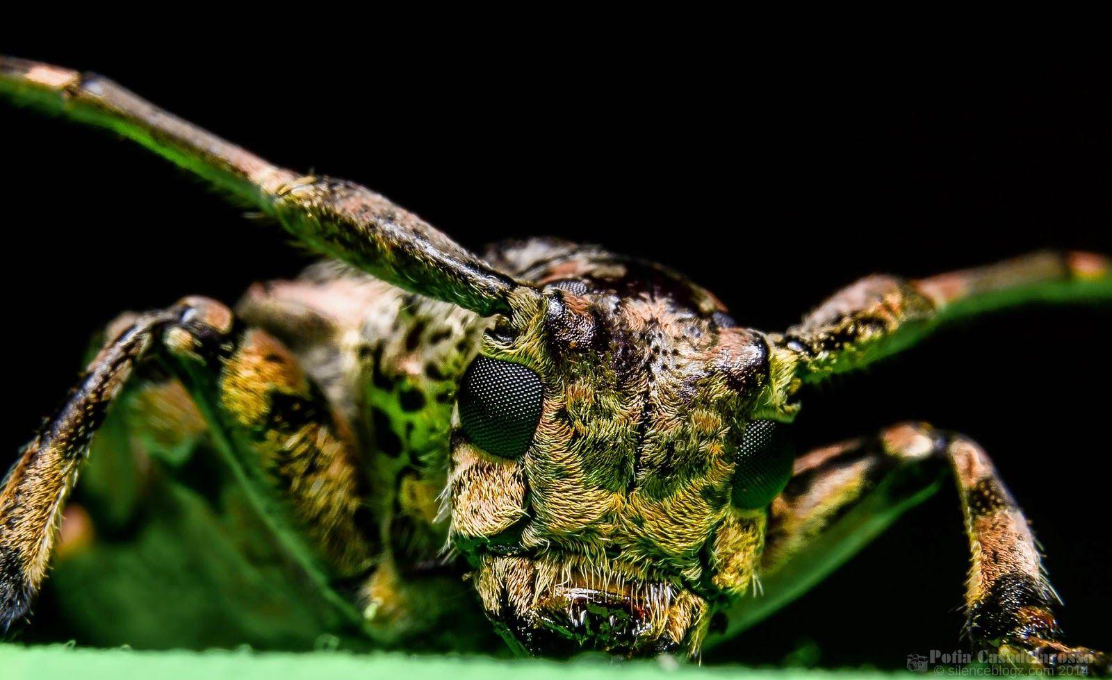 Mulberry Longhorn Beetle | SilenceBlogz