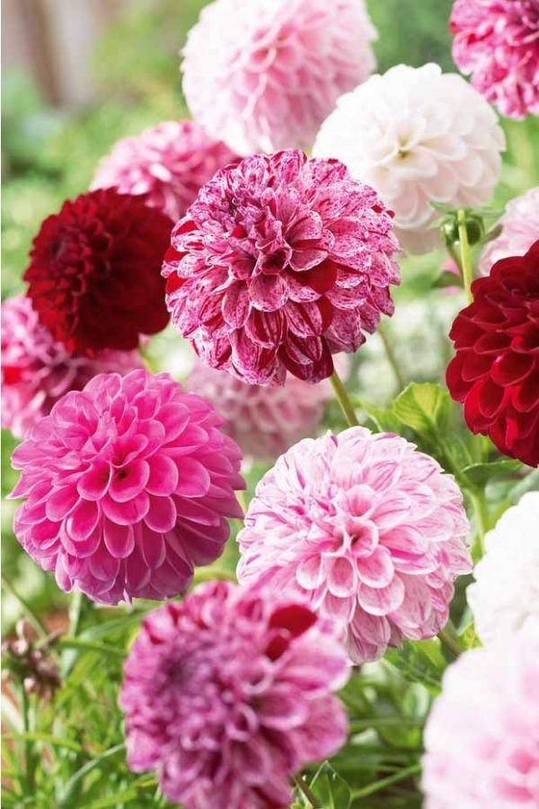 Dahlias Pompons Potluck En Melange Flower Love Fleurs