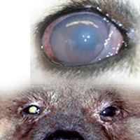 Shih Tzu glaucoma - This is the most Painful eye problem! | The Best