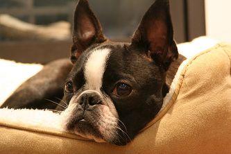 Bostons We Ve Produced Bedford Reg D Boston Terrier Boston