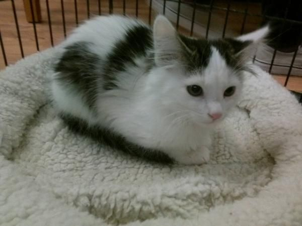Pin On Tuxedo Cats And White Cats With Black Spots