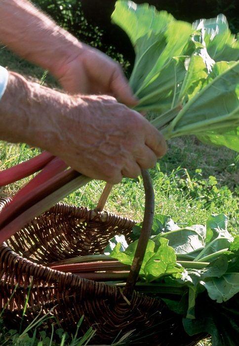 7 Secrets Pour Une Rhubarbe Jamais Malade Purin De Rhubarbe