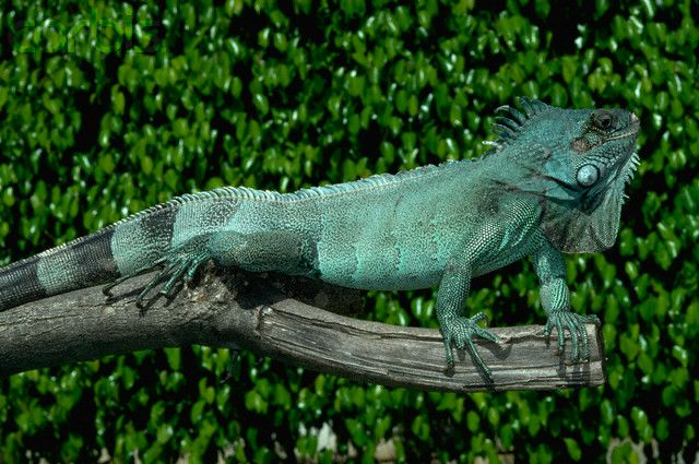 Green Iguana In Blue Phase