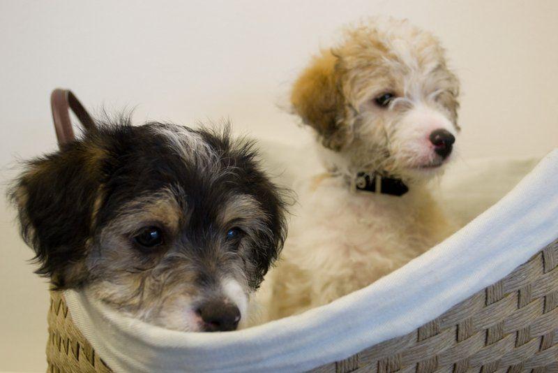 Jackadoodles In A Basket Jack Russell Terrier Jack Russell Dog