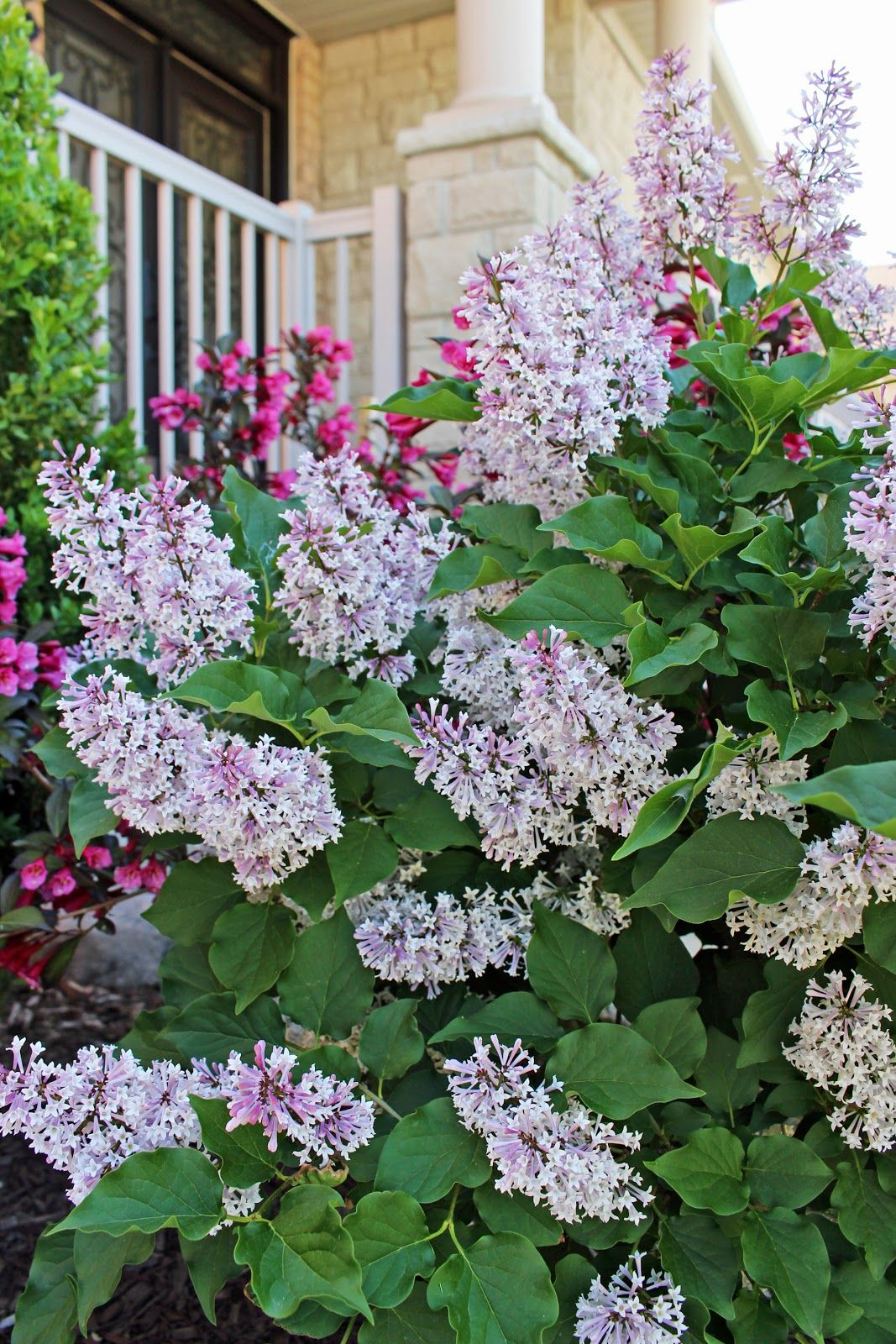 Wine Roses Weigela Issued Hundreds Of Bell Shaped Pink Flowers