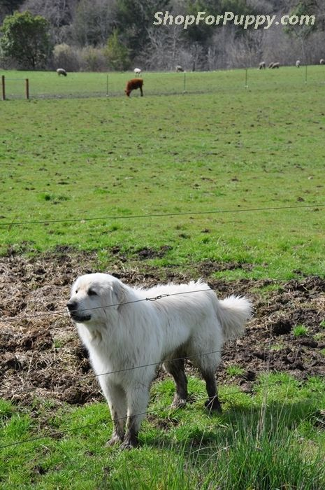 Great Pyrenees Lgd Great Pyrenees Livestock Guardian Dog