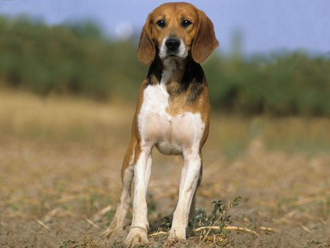 Beagle Harrier Harrier Dog Beagle Dog Breeds