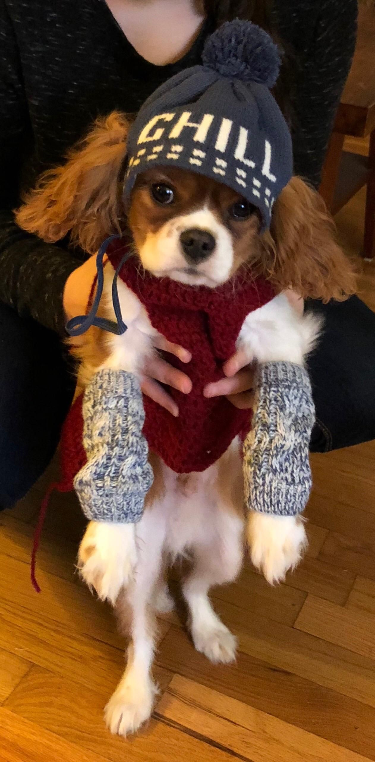 Someones Thrilled With His Outfit King Charles Dog King