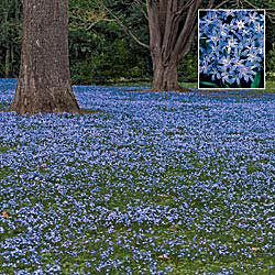 Little Blue Flower Ground Cover