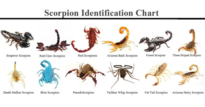 Different types of scorpions species scorpion indentification different types of scorpions species scorpion indentification chart key guide pictures not sure what kind of scorpion infestation you have ccuart