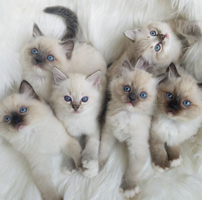 Flower Baby Ragdolls Baby Cats Beautiful Cats Gorgeous Cats