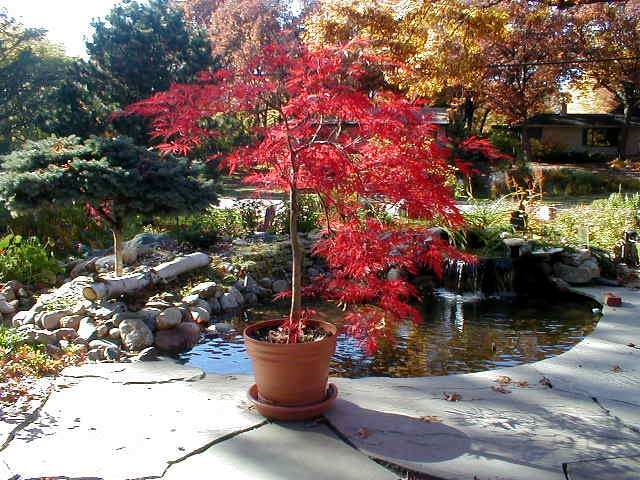 Potted Laceleaf Japanese Maple Patio Pinterest Japanese