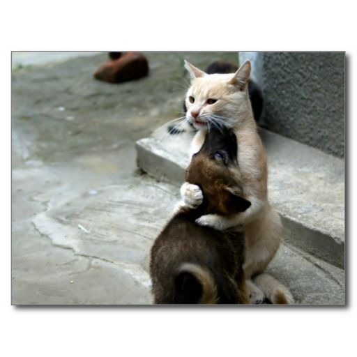 Cat hugging a dog / cute pets photo postcard | Zazzle.com