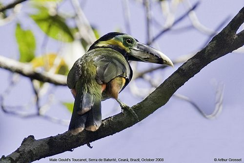 Araçaris in Brasilien » BrasilienPortal Goulds pepervreter (Selenidera gouldii)