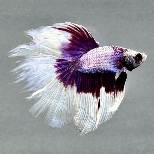 Live Betta Fish Purple Butterfly Half Moon Rare Ju128 Male From Thailand Ebay Betta Fish Betta Betta Aquarium