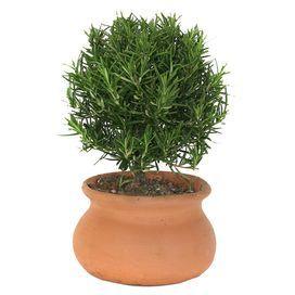 Live Rosemary Plant