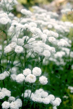 achillea ptarmica pearl white gef llte bertramsgarbe gardening pinterest g rten. Black Bedroom Furniture Sets. Home Design Ideas