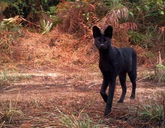 Black Is Beautiful 27 Stunning Animals With Melanism Melanistic Animals Serval Cats Melanistic
