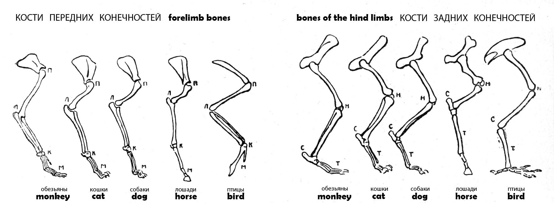 bones of the hind limbs / forelimb bones Животные, Разное