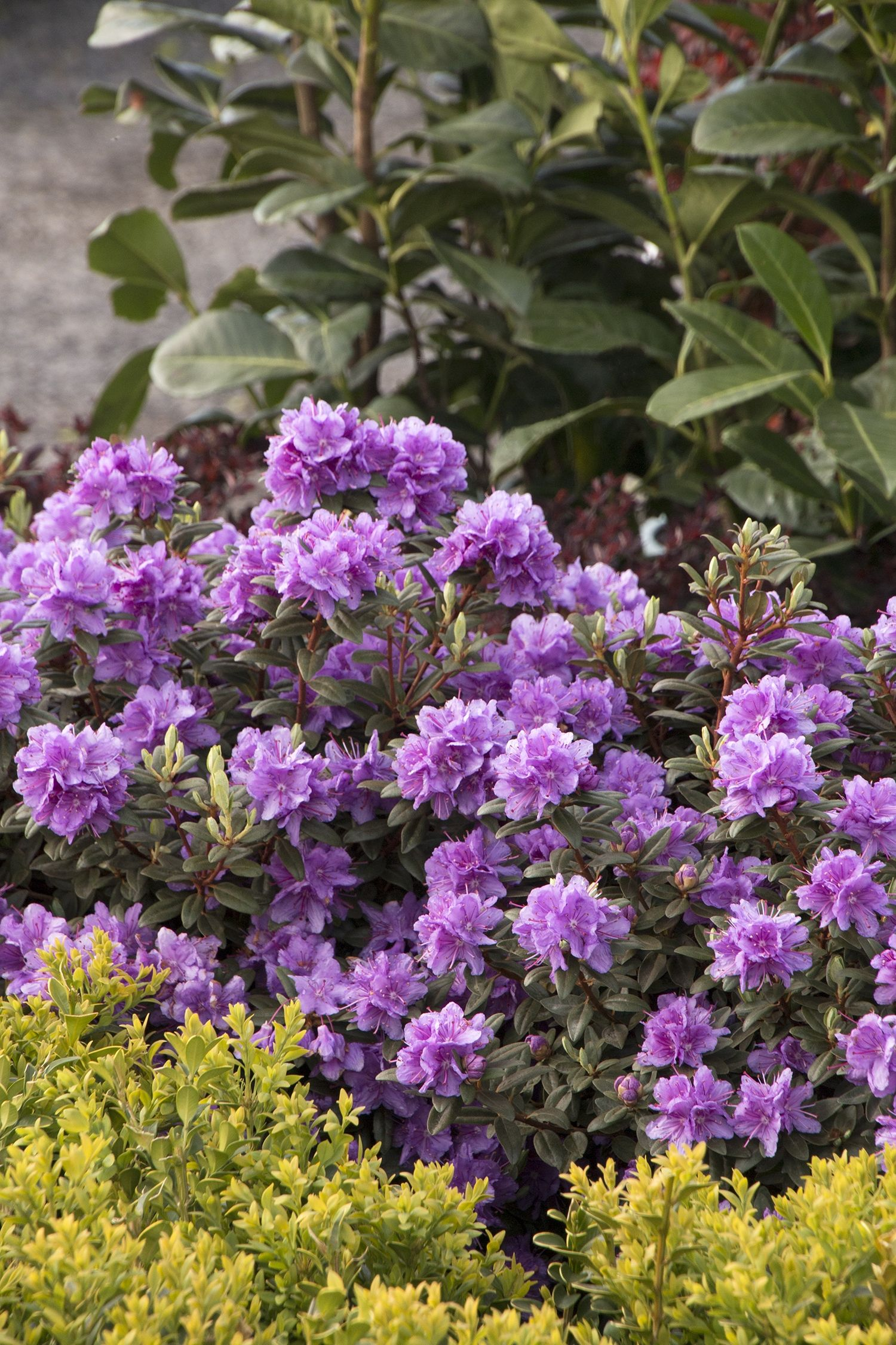 Ramapo Rhododendron Shrub Evergreen And Gardens