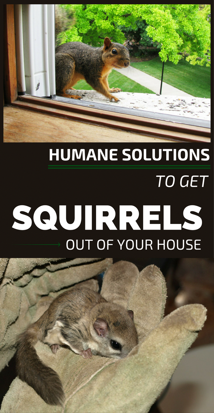 309bf62f4c4db07f1c0299442d8e6ff9 - How To Get Rid Of Squirrels In My Ceiling