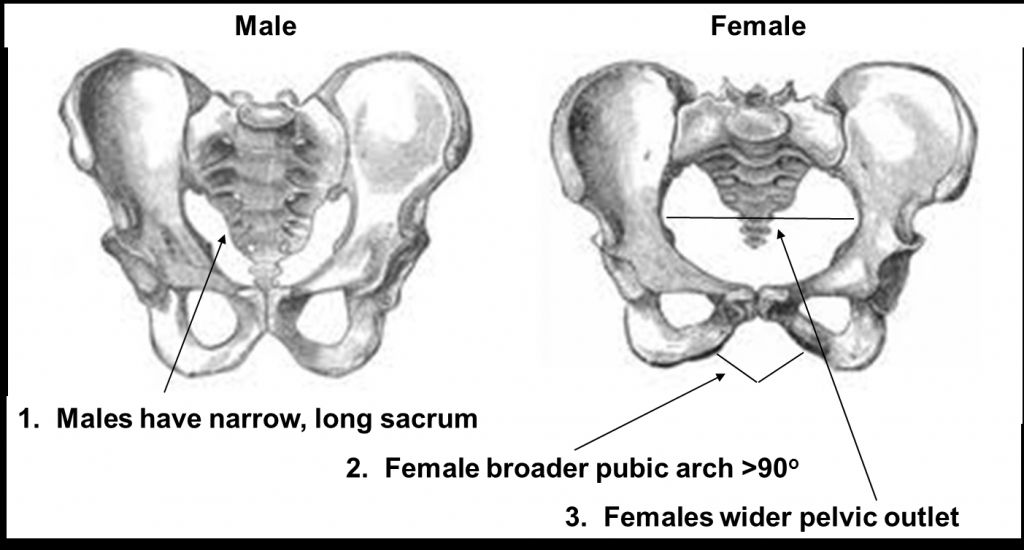 Difference Between Male And Female Anatomy Nh Chs Anatomy