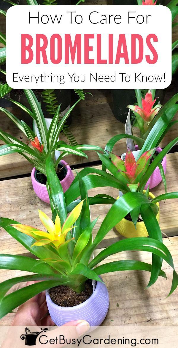 bromeliad plant care how to grow bromeliad house plants houseplants indoor plants growing. Black Bedroom Furniture Sets. Home Design Ideas
